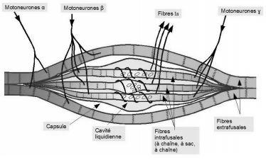 le fuseau neuromusculaire - myothérapie et cervicalgies