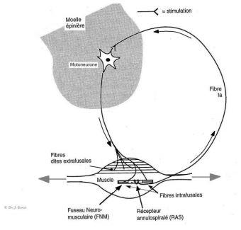 Le réflexe Myotatique (stretch reflex)